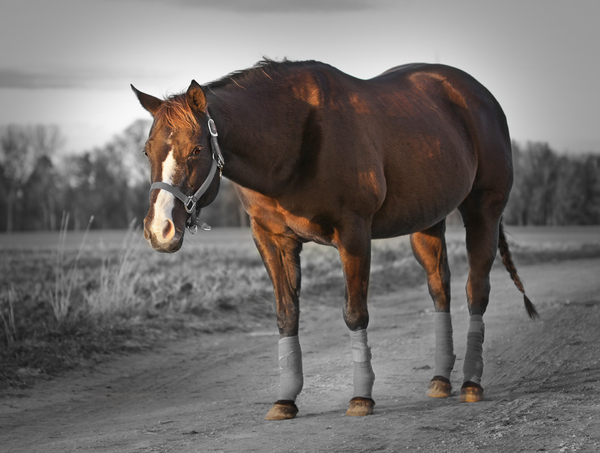 Quarter Horse Colorkey: Colorkey Picture of a brown Quarter Horse