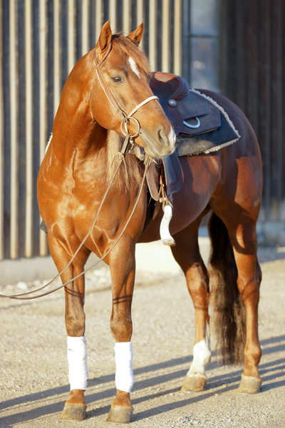 Quarter Horse ready to go: Saddled Quarter Horse ready to ride