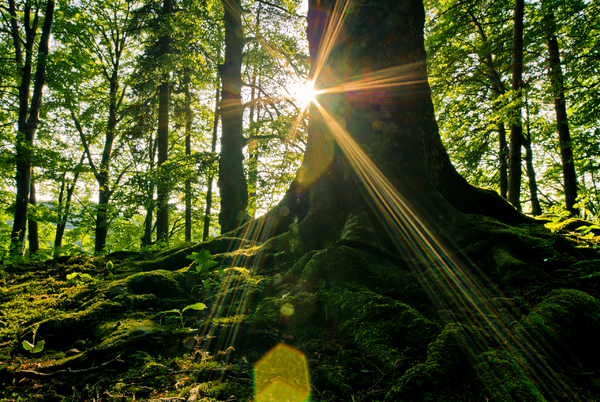 Natural Forest - Sunburst: Trunk of an big old Beech Tree with strong Roots in the Foreground, Sunburst behind the Trunk