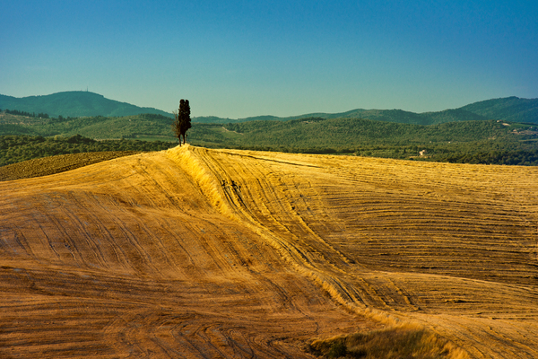 Cypress Hill: Single Cypress on a Hill, golden Fields around, Mountains in Background. Tuscany, Italy