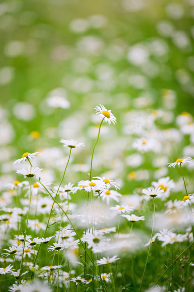 White Daisies in Meadow: