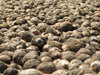 Dry Arecanuts: Arecanuts in a drying yard