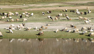 Sheep in the Grasslands: Sheep in the Grasslands, Ladakh