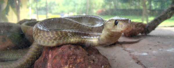 Indian cobra: An Indian cobra staring straight. (note the venom stains on the glass, deliberate to show the same)