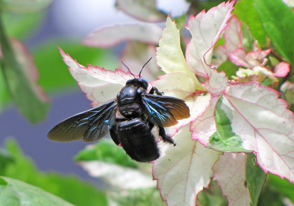 Carpenter Bee: A large Carpenter Bee