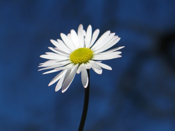 daisy on blue: none