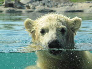 Vicks, baby polar bear.: Vicks, baby polar bear in Rotterdam ZOO.