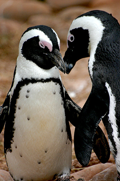 Penguin Love: I wish I got these guys head on. Would have made a very romantic image. Oh well :)