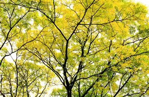 Leaves Of Gold 2: Snapshots of tree with golden yellow and green leaves
