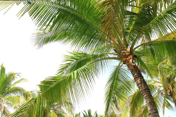 Coconut Trees 3: Beautiful coconut trees