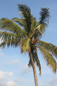 Coconut Palms: Palm trees in Key West, Florida.