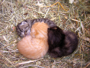 together we're safe: Three baby kittens sleeping in a nest of hay