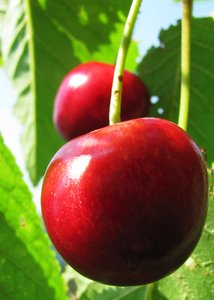 mellow cherries 1: glossy red cherries on tree