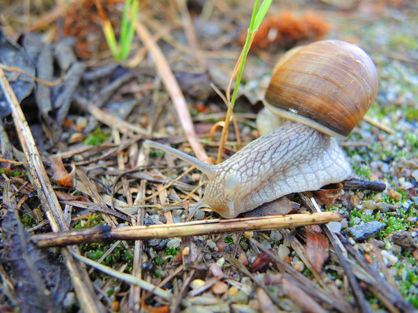 snail 4: Helix pomatia - common names the Burgundy snail, Roman snail, edible snail or escargot, is a species of large, edible, air-breathing land snail, a terrestrial pulmonate gastropod mollusk in the family Helicidae. It is a European species. It is called by t