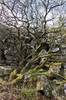 Twisted trees: Twisted, stunted trees growing on the spoil heap of an old abandoned stone quarry in Cornwall, England.