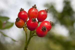Rosehips: Rosehips growing in a hedge in West Sussex, England, in early autumn.