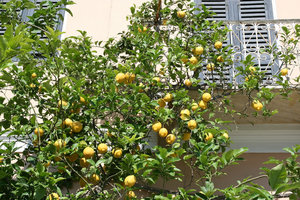 Lemon tree: A lemon tree in a townhouse garden in Sardinia.