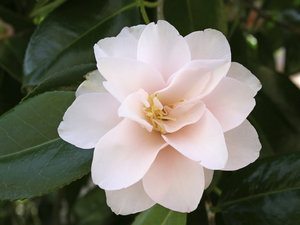 Pink blush: A delicate pink camellia in flower in a garden in West Sussex, England, in spring.