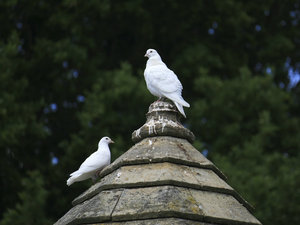 White pigeons: White pigeons (Columba) on the roof of a dovecote in a garden in West Sussex, England