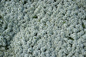 White flowers: A carpet of white Alyssum flowers