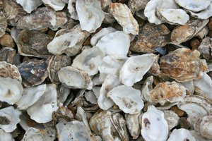 Oyster shells: Oyster shells at Whitstable, Kent, England.