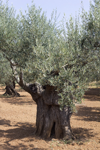 Ancient olive trees: Ancient olive trees in Catalunya, Spain.