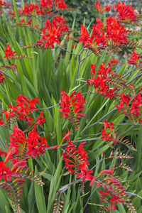 Crocosmia flowers: Crocosmia flowers in a garden in West Sussex, England.