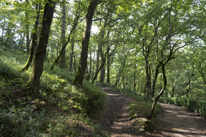 Woodland paths: Paths through oak woodland in the Dordogne, France.