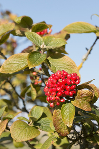 Free stock photos - Rgbstock - Free stock images | Autumn berries