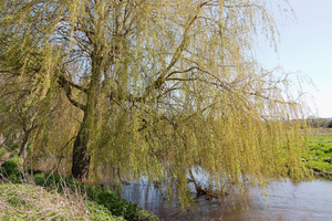rivieroever willow tree: