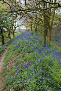 Woodland flowers in spring: Blubells in spring woodland on Coney's Castle, the remains of an ancient hill fort in Dorset, England. Photography on this National Trust land is freely permitted.