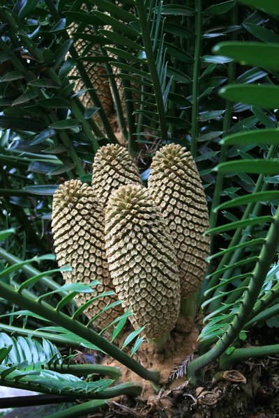 Cycad cones: Cones of a cycad tree growing in a botanic garden in Madeira.