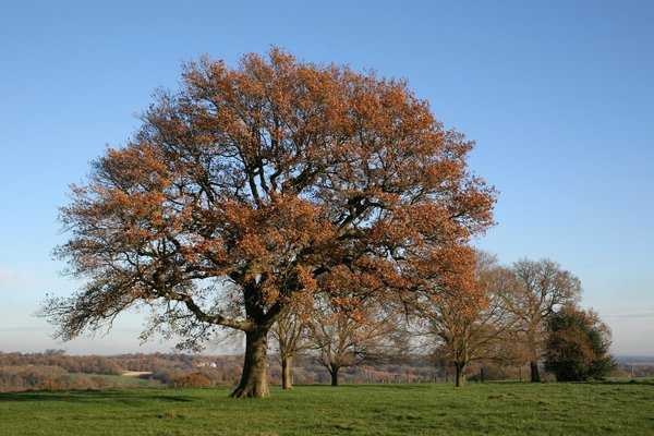 Oak ridge: Oak (Quercus) trees on a ridge of the High Weald of West Sussex, England, in autumn.