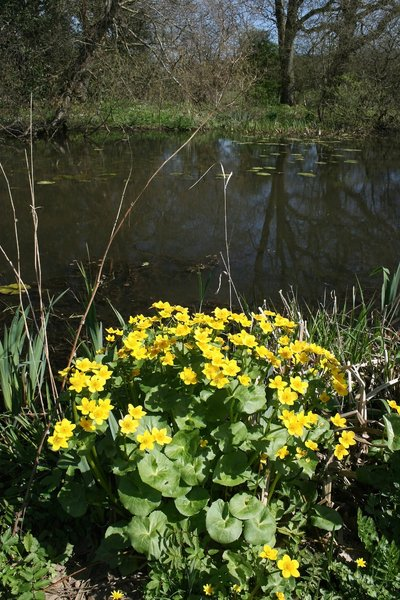 King cups: King cups (Calthea palustris, also called Marsh Marigold or Crazy Betsys) by a pond in Sussex, England, in spring.