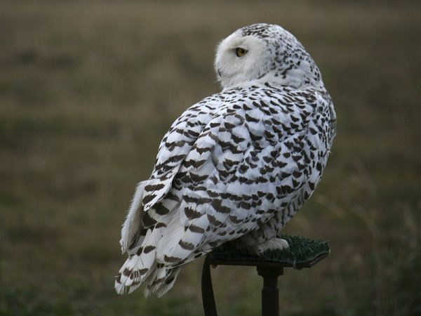 Snowy owl: Female captive-reared Snowy owl (Nyctea scandiaca) on a launch perch.