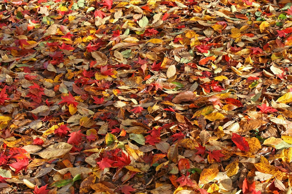 Yellow and red leaves: Fallen leaves of ornamental Nyssa and maple (Acer) trees in a garden in East Sussex, England.