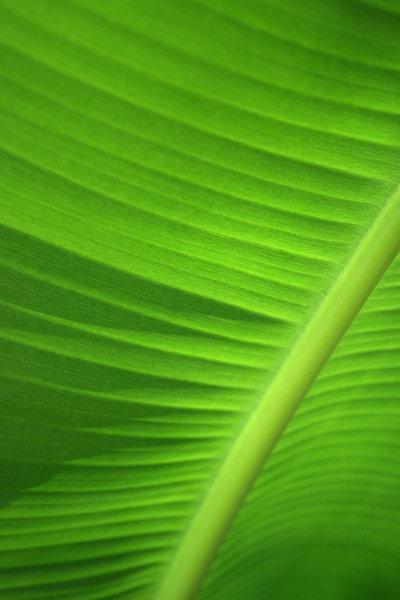 Banana leaf: Soft-focus shot of sunlight on a banana leaf