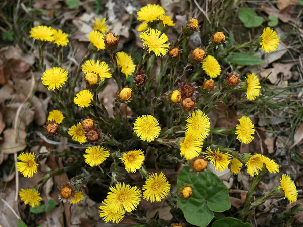 Coltsfoot: Coltsfoot (Tussilago farfara) in flower in very early spring in West Sussex, England.