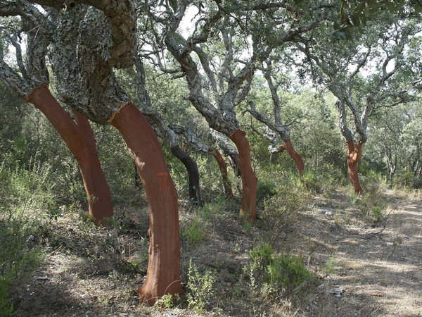 Cork oaks: A plantation of cork oak trees (Quercus suber) with the bark harvested, leaving the red wood exposed, in Sardinia.