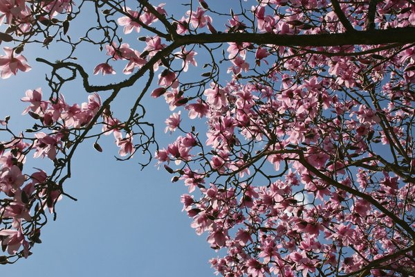 Pink magnolia: Pink magnolia trees in flower in a garden in England in spring.