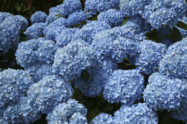 Hydrangea flowers: Hydrangea flowers in a garden in West Sussex, England