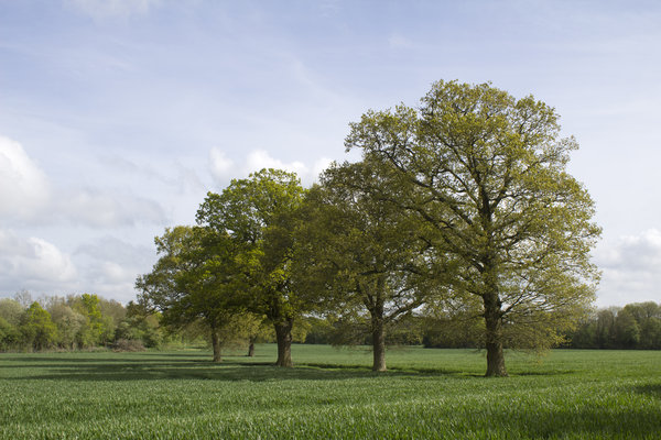 Oak trees in spring: Oak (Quercus robur) trees in spring in West Sussex, England.