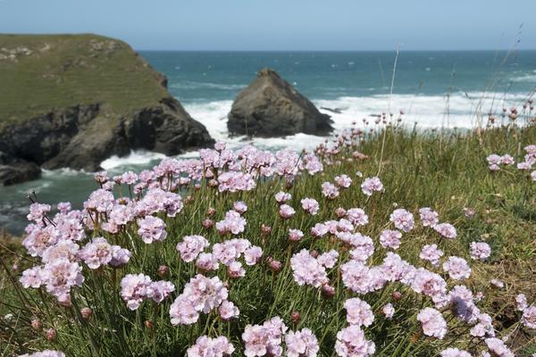 Coastal Flowers Wild Thrift Armeria On Coastline In Cornwall England