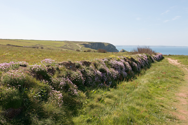 Drystone wall and flowers: An old drystone wall covered in wild thrift (Armeria) flowers in Cornwall, England, in spring.