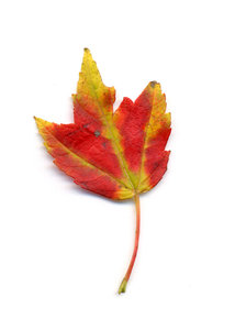 autumn leaf 4: autumn leaves, clipping paths included.