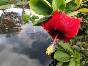 The Hibiscus Pond: no description