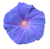 Purple flower: A purple flower isolated.