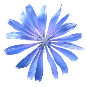 Garden Cornflower: A blue flower for a blue girl.The Cornflower (Centaurea cyanus) also known as Bachelor's button, Basket flower, and Boutonniere flower is a small annual flowering plant in the family Asteraceae, native to Europe.Please mail me if you found it useful. Just