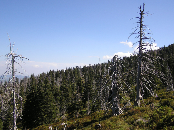 Dead trees: Dead trees in mountains.