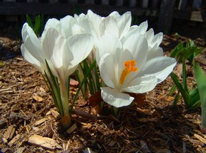 White Crocus: White Crocus in the garden with sunlight playing on the petals